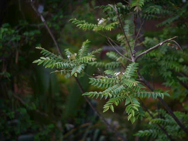 Kaloupilé (Murraya koenigii)