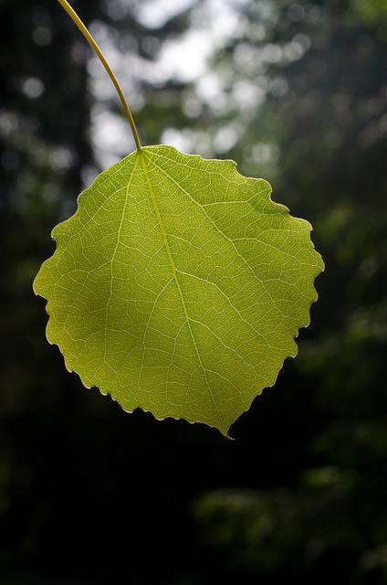 Peuplier tremble (Populus tremula)